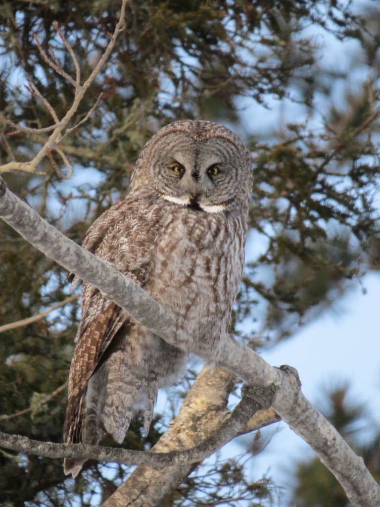 The Great Gray Owl in Tower, Minnesota - an epic adventure like no other