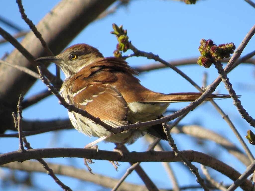 Rusty Blackbird Vs Common Grackle