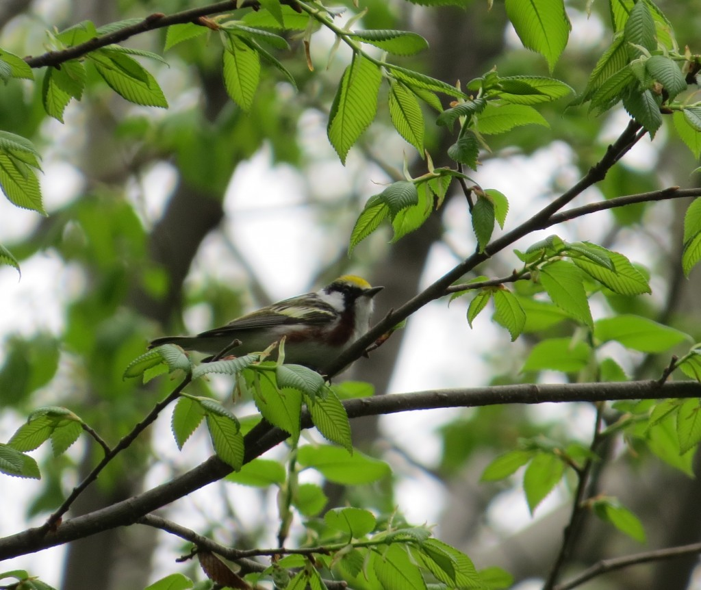 Chestnut-sided Warbler (my spark bird)