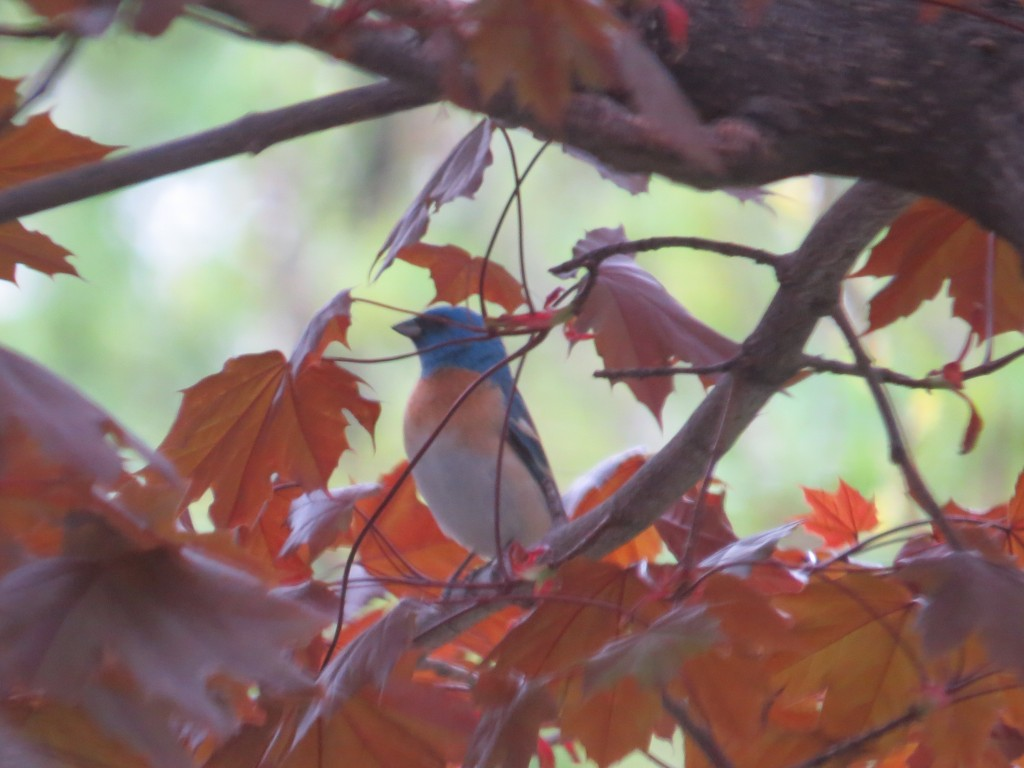 The Lazuli Bunting in Hutchinson - we got the email in the morning, and we were on location that afternoon