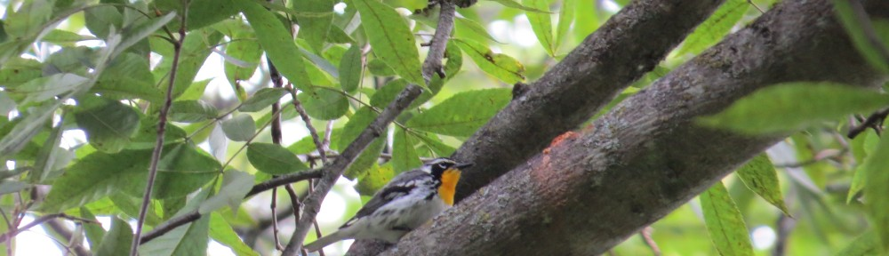 The Yellow-throated Warbler, a very rare bird for Minnesota