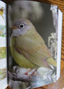 Connecticut Warbler - The Warbler Guide
