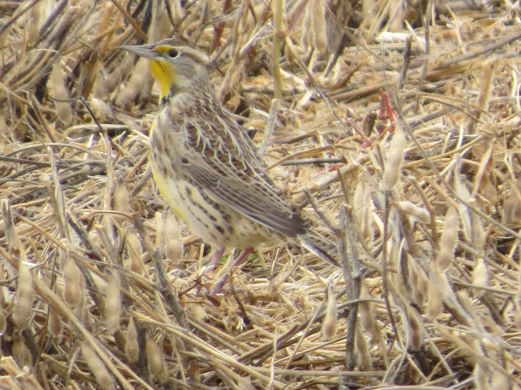 Western Meadowlark - my dad's favorite bird