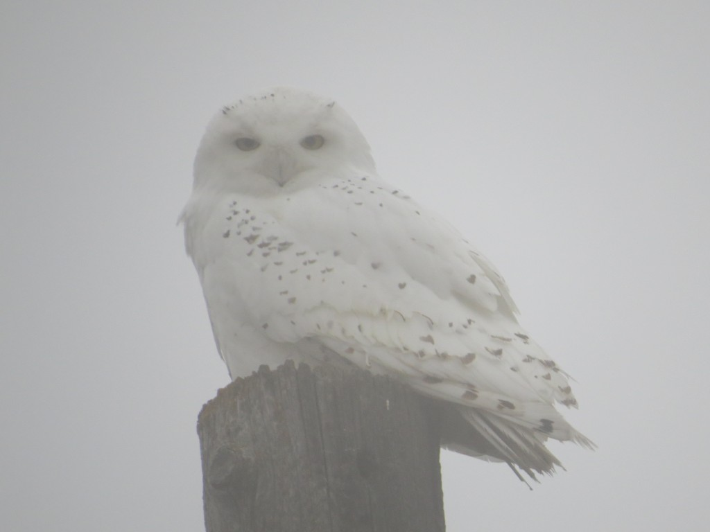 Snowy Owl in Meeker County