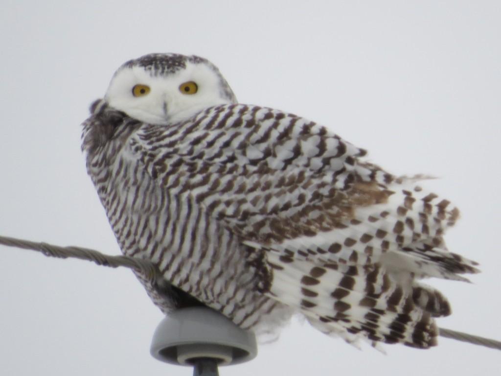 Snowy Owl - Sauk Rapids, Minnesota