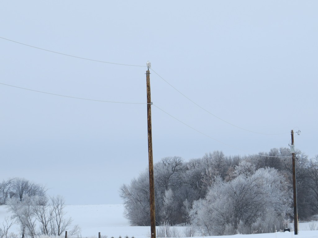 Power poles and telephone poles are the Snowy Owl's favorite perches as they hunt over open country, like their native tundra.