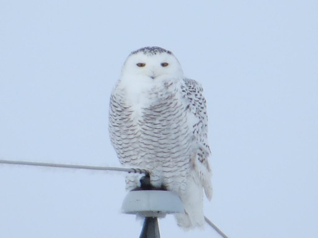 Snowy Owl - Holdingford, Minnesota