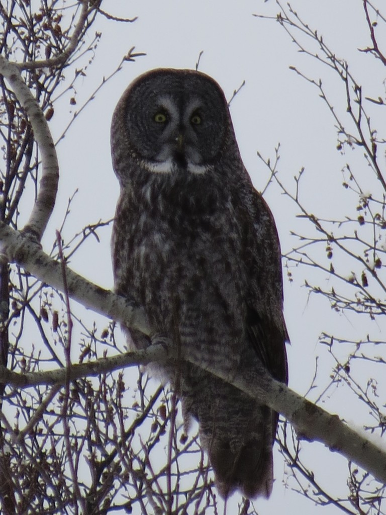 Great Gray Owl No. 1