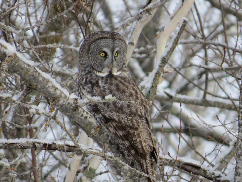 Great Gray Owl No. 2