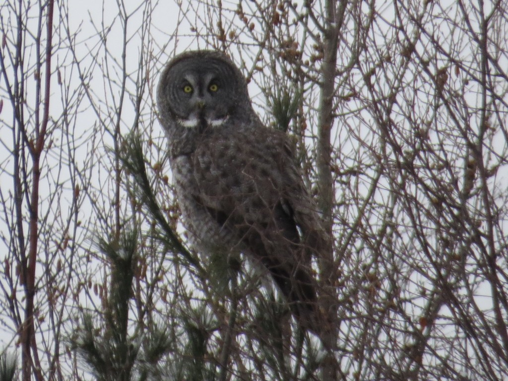 Great Gray Owl No. 3