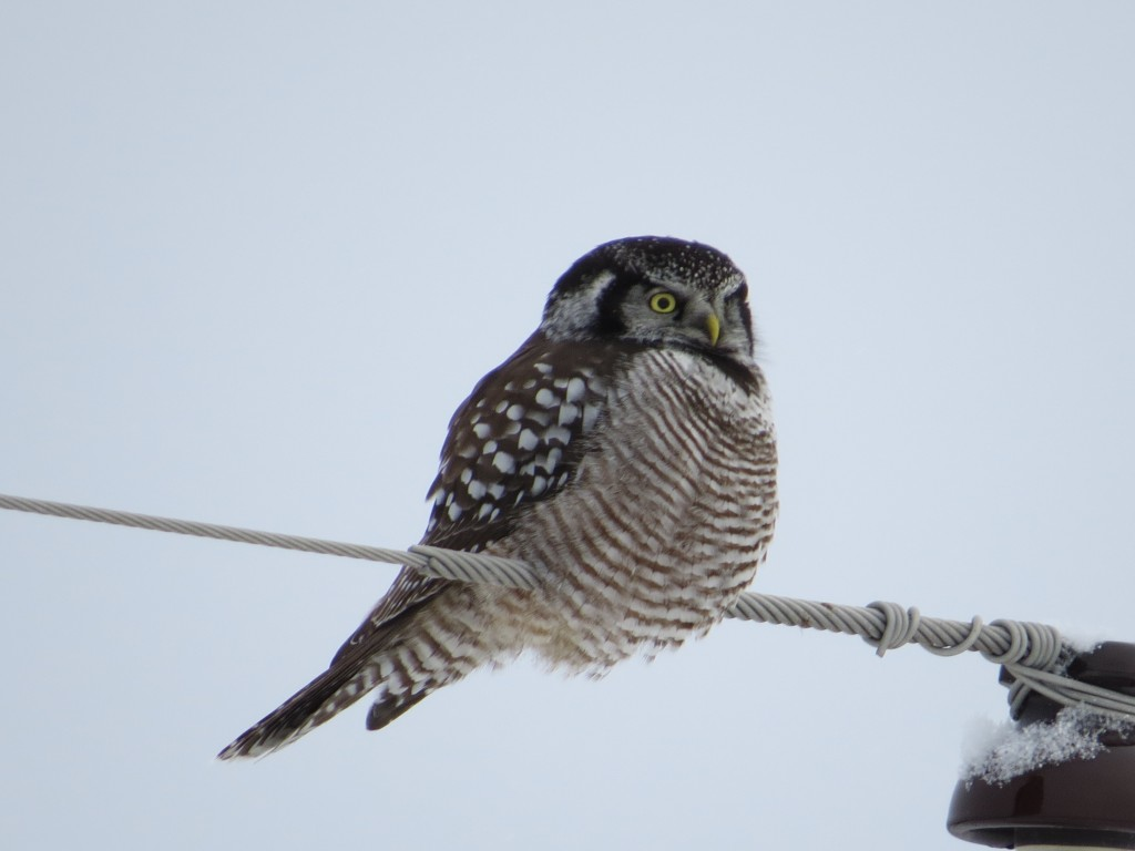 Northern Hawk Owl ignoring us