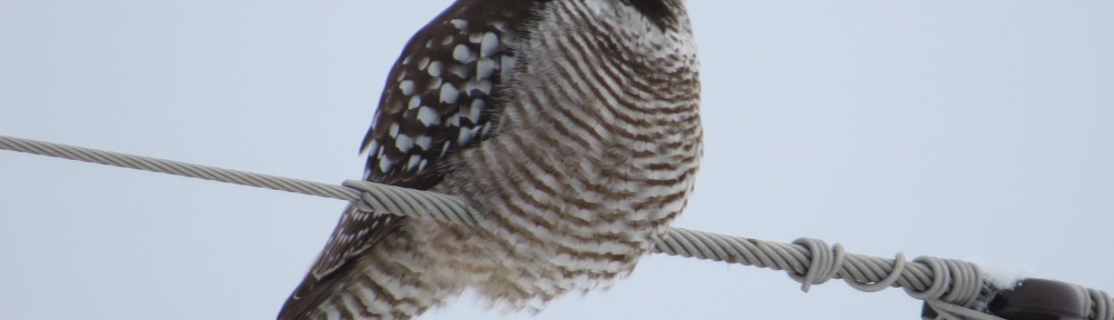 Northern Hawk Owl Lifer!