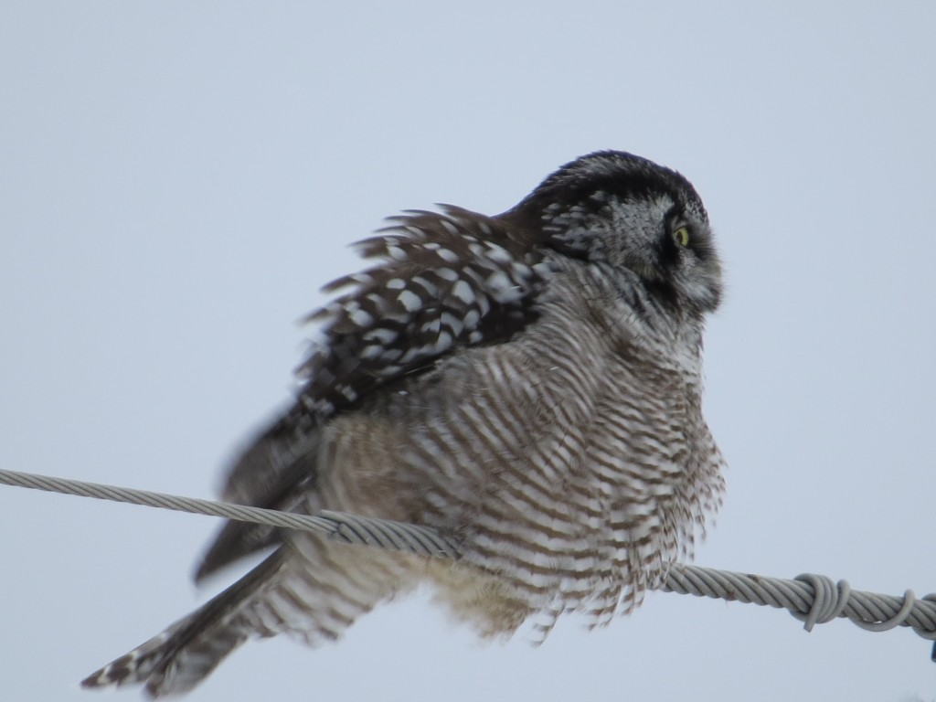 Northern Hawk Owl fluffing up