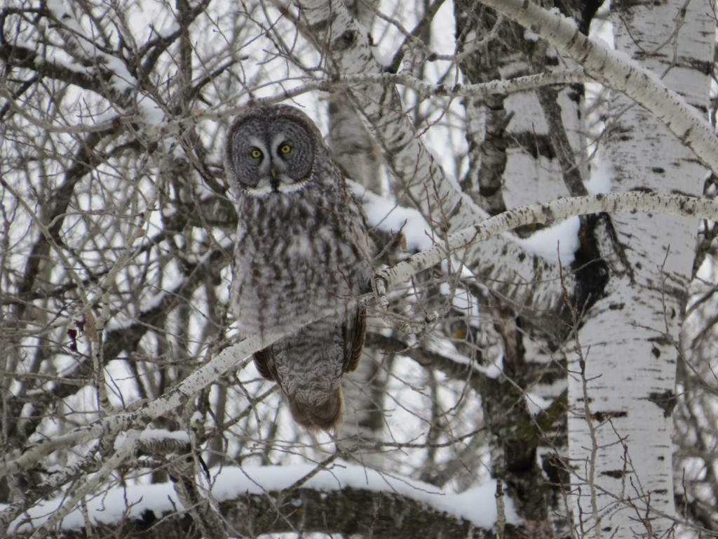 Great Gray Owl No. 5
