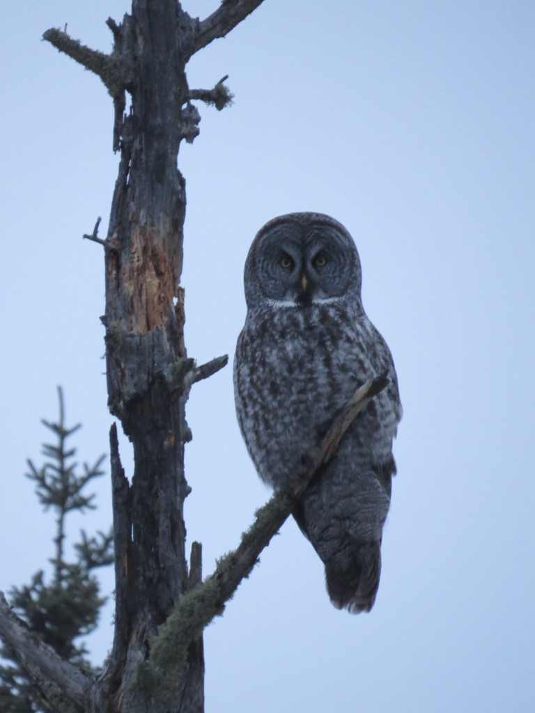 Great Gray Owl on Admiral Road in the Sax-Zim Bog