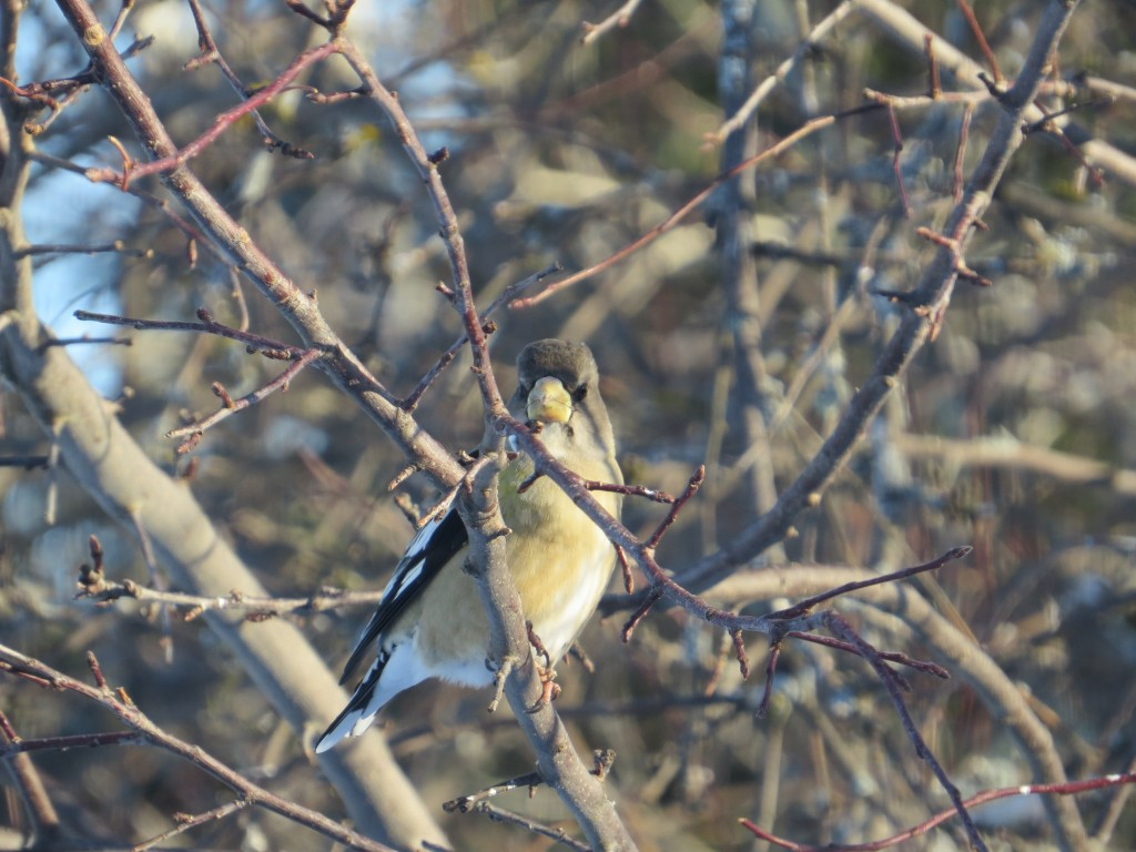 Evening Grosbeak femaleeeee