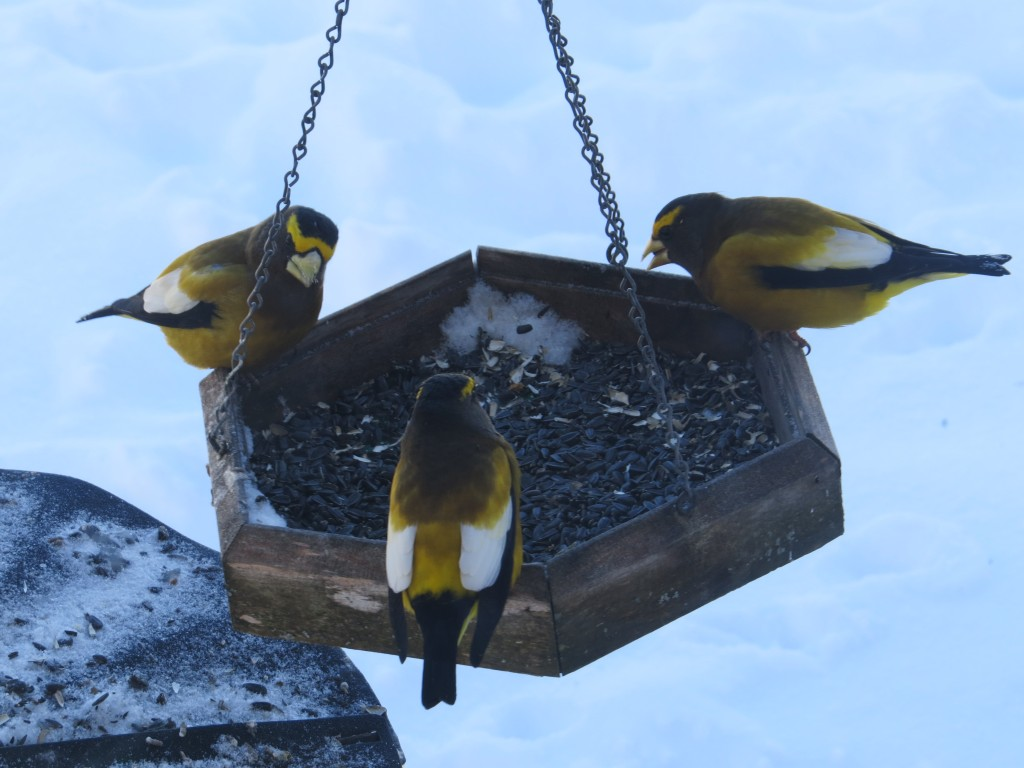 Evening Grosbeak males