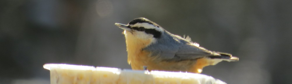 Red-breasted Nuthatch - a year-round resident in northern Minnesota