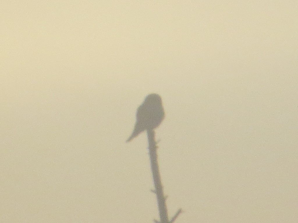 Northern Hawk Owl on County Road 7 in the Sax-Zim Bog