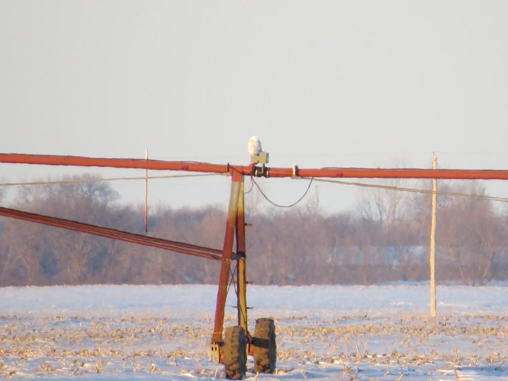 Kodi's Snowy Owl near Atwater, Minnesota