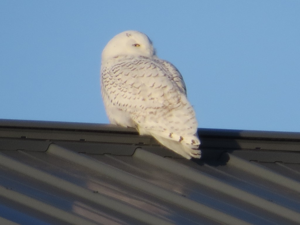 Our Resident Snowy Owl
