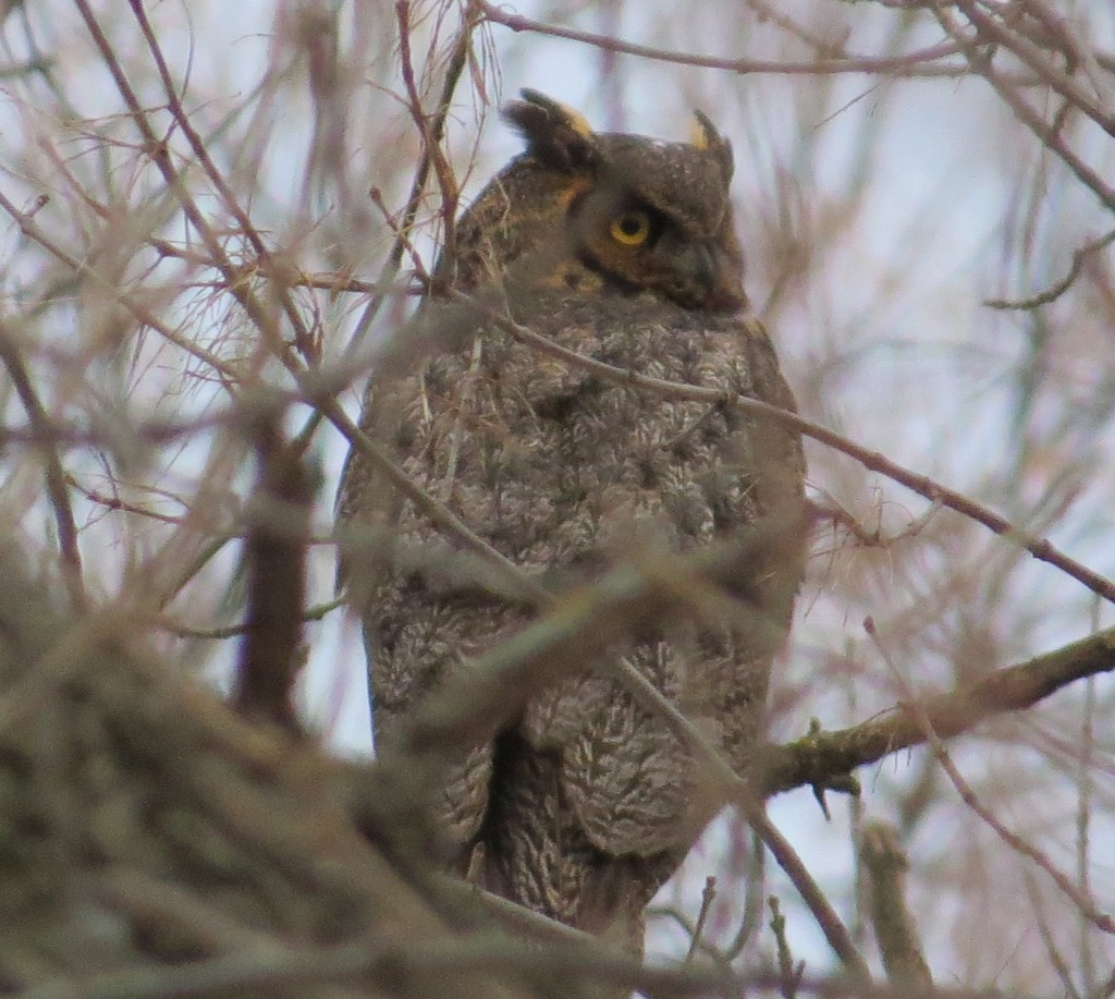 Randy's Great Horned Owl