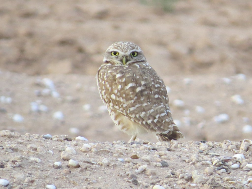 Burrowing Owl Lifer!