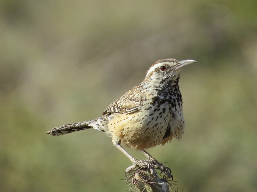 Cactus Wren - Arizona's state bird