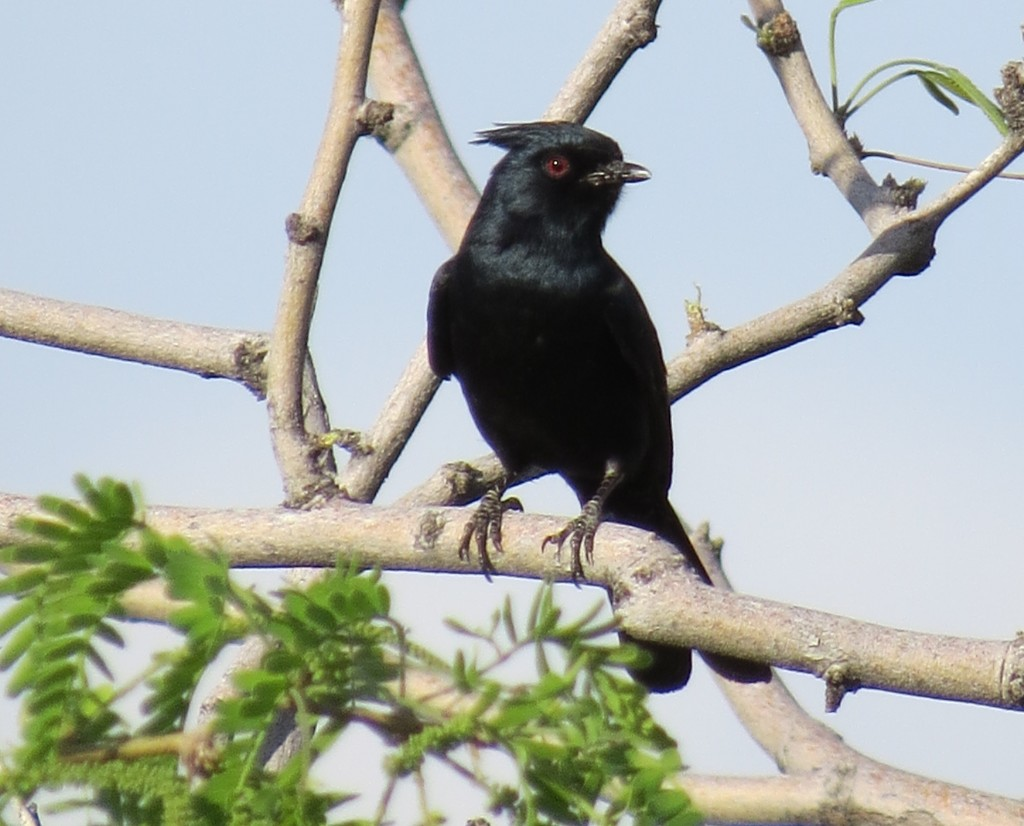 Male Phainopepla