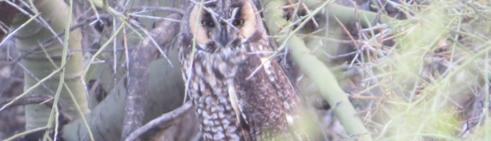 Long-eared Owl!