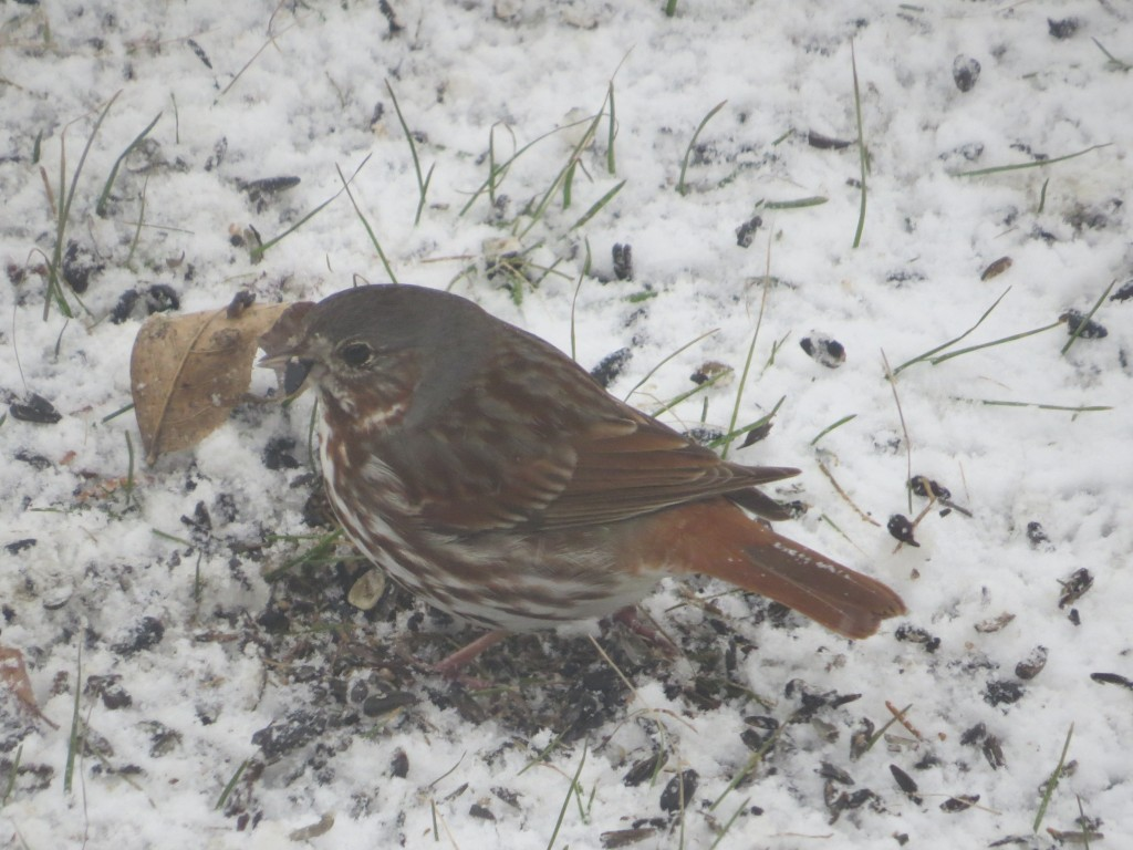 Fox Sparrow (Archive photo taken during one of last year's April blizzards)