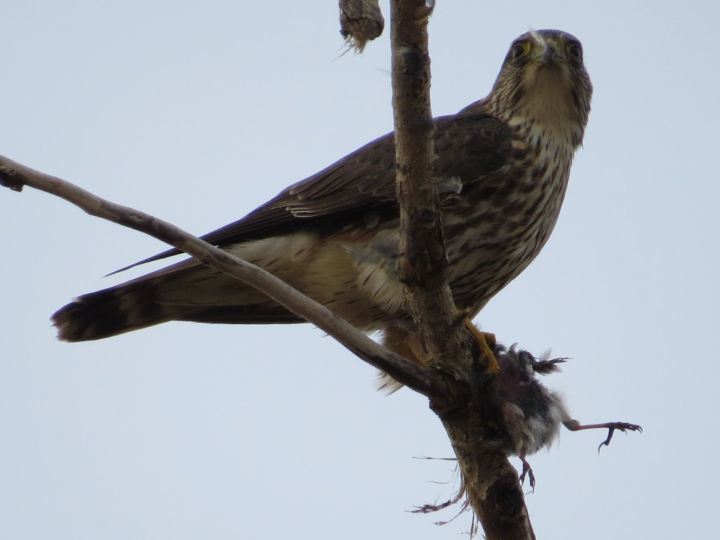 Merlin eating a Dark-eyed Junco