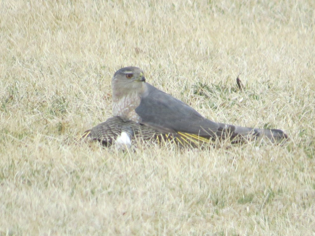 Cooper's Hawk on top of  a Northern Flicker