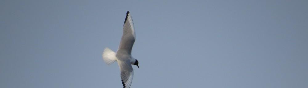 Bonaparte's Gull lifer!