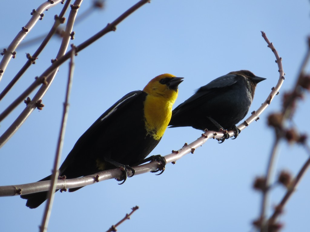 Yellow-headed Blackbird and Brown-headed Cowbird