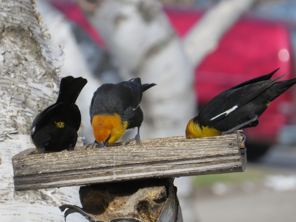 Yellow-headed Blackbirds and the rare Yellow-vented Blackbird
