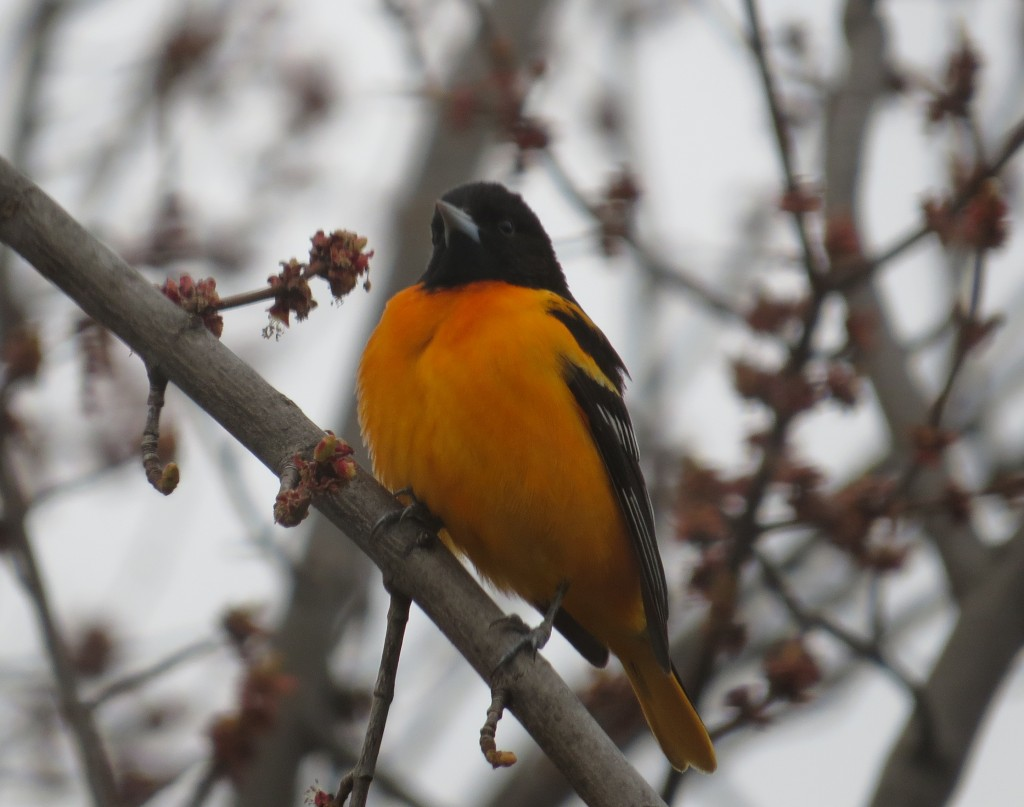 Atrayendo y alimentando aves en su patio: The Baltimore Oriole