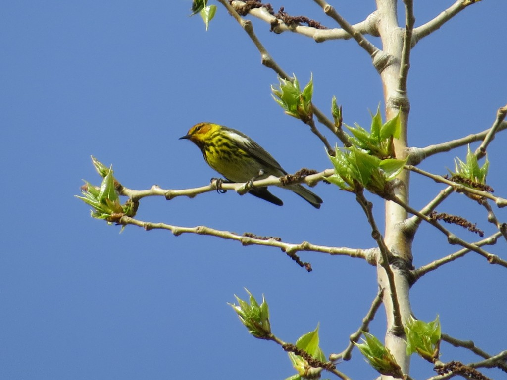 Cape May Warbler at Bergquist Wildlife Area
