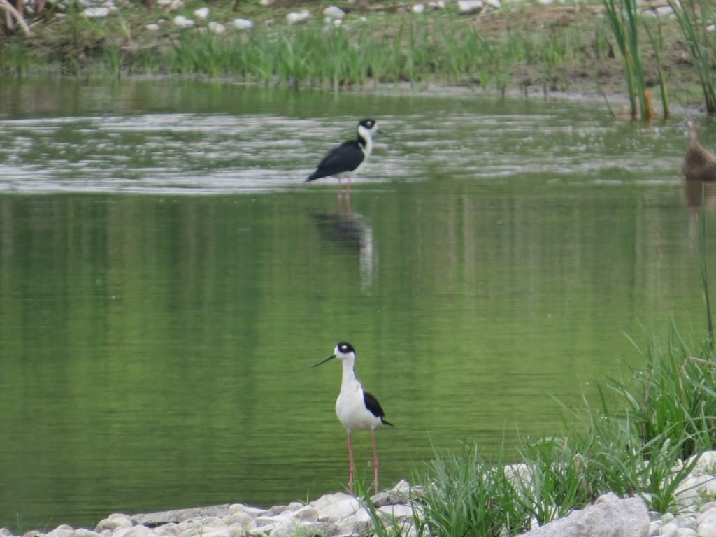 Nesting Black-necked Stilts  at the Herman Sewage Ponds in Grant County