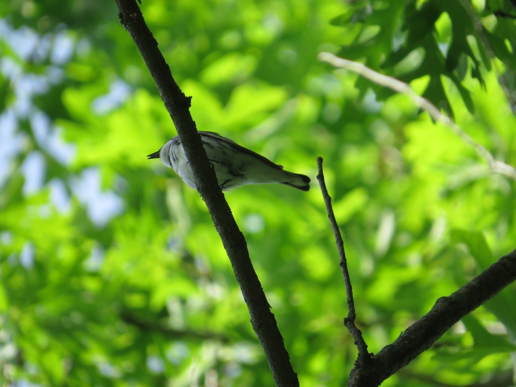 Cerulean Warbler at Murphy-Hanrehan Park in Savage, MN