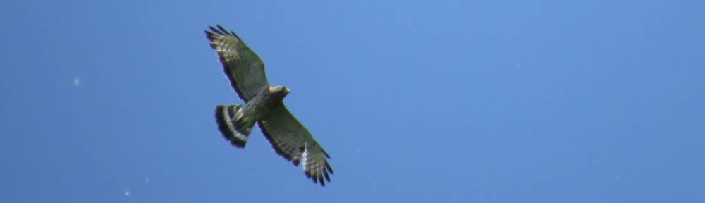 Broad-winged Hawk over Hidden Valley Park in Savage, MN