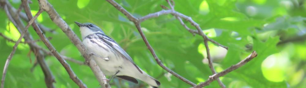 Cerulean Warbler at Sibley State Park