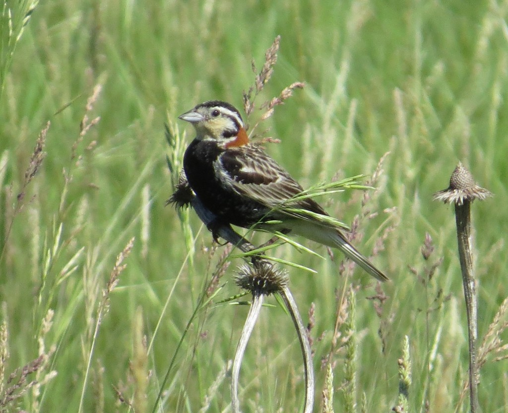 Chestnut-collared Longspur - The Best Longspur
