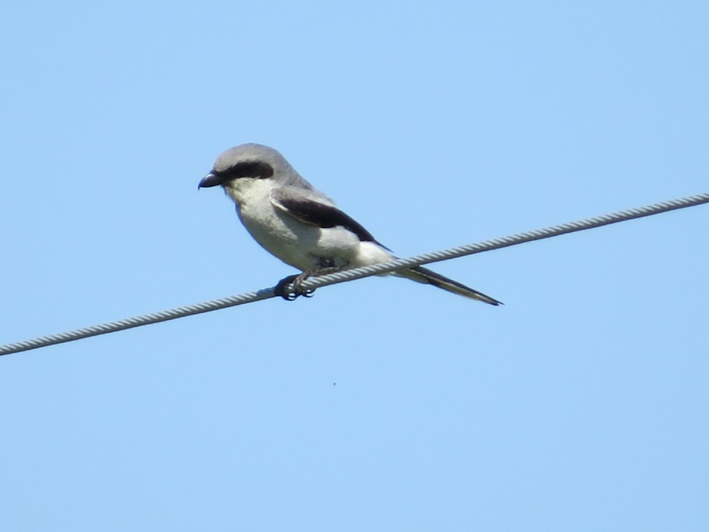 Loggerhead Shrike along Co. Rd. 118 about 2 miles east of MN Hwy 9
