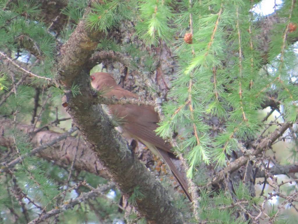 Black-billed Cuckoo lifer - Finally!