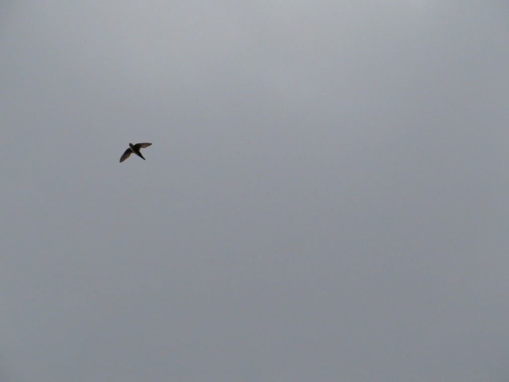 White-throated Swift (if you squint)