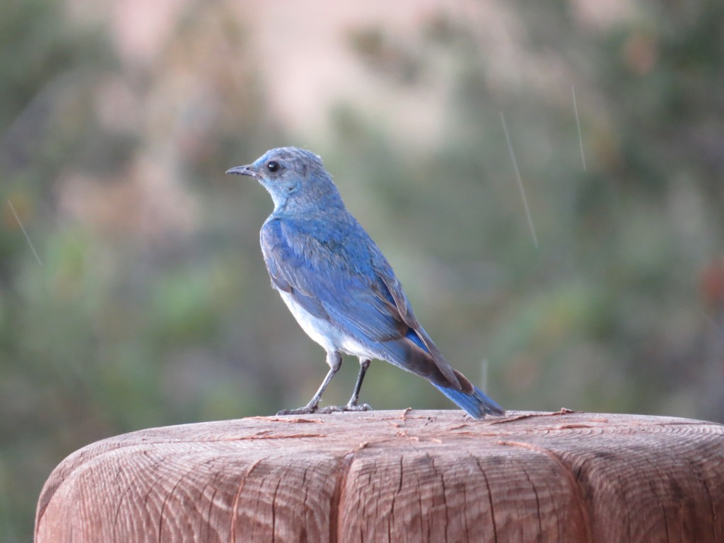 "Aunt Carol's ""pet"" Mountain Bluebird"