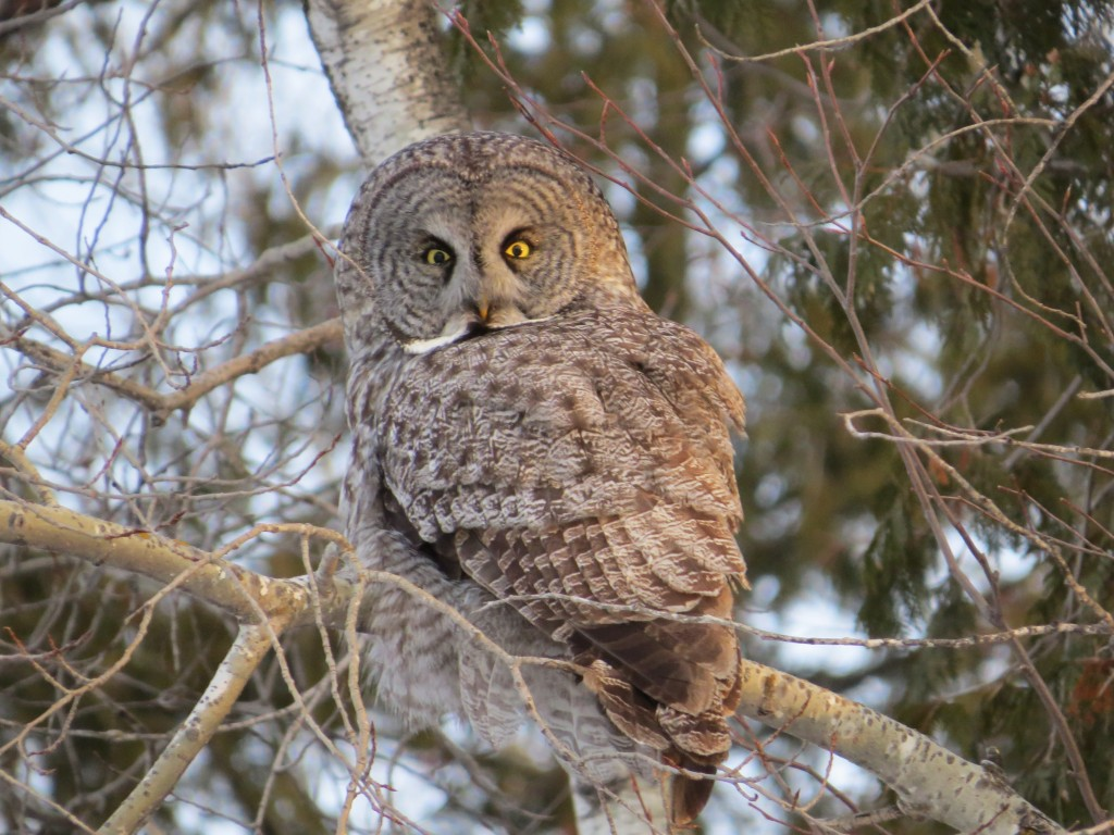 Great Gray Owl - archive photo of life bird - March 2013