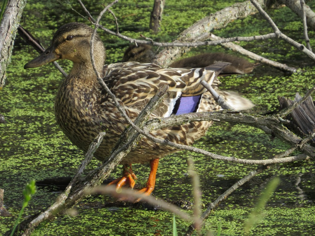 Hen Mallard with her favorite child