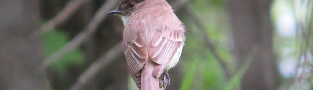 Eastern Phoebe - purported by some to be the third-best Phoebe